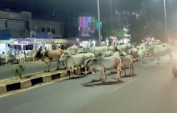 cow-on-road